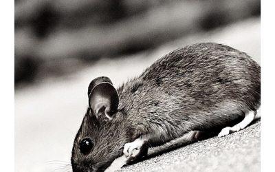 un esperimento sui topi